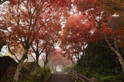 Lãng mạn mùa thu Đài Loan khi lá phong thay màu